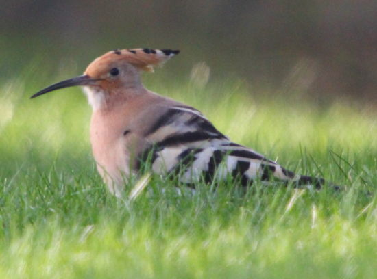Hoopoe by Nicola Parkman on 30/03/2012