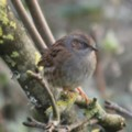 Dunnock in the seaside holiday cottage garden at Trewoon Poldhu Cove Mullion Cornwall - added 14/01/2012 by seasidecottagescornwall.co.uk