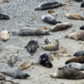 Seals Resting In A Cove At Godrevy - added 22/12/2011 by John Wright