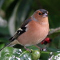 Chaffinch in the seaside holiday cottage garden at Trewoon Poldhu Cove Mullion Cornwall - added 15/01/2012 by seasidecottagescornwall.co.uk