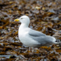 Herring Gull on Kelp  Lizard  by old lifeboat station - added 29/06/2015 by John Wright