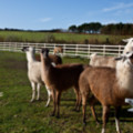 Lamas at Mullion Meadows - added 22/12/2011 by John Wright