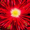 Livingstone Daisies 2 - added 02/07/2017 by John Wright