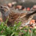 Dunnock in the seaside holiday cottage garden at Trewoon Poldhu Cove Mullion Cornwall - added 15/01/2012 by Seaside Cottages Cornwall