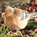 Male Chaffinch in the seaside holiday cottage garden at Trewoon Poldhu Cove Mullion Cornwall - added 13/01/2012 by seasidecottagescornwall.co.uk